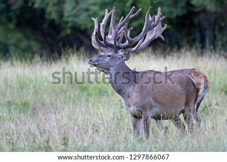 Red stags with velvet-covered antlers #1297866067