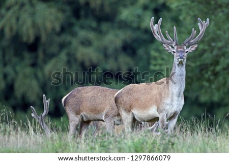 Red stags with velvet-covered antlers #1297866079