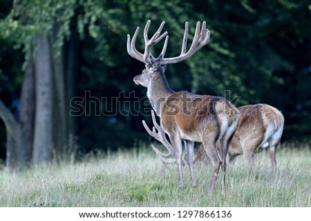 Red stags with velvet-covered antlers #1297866136