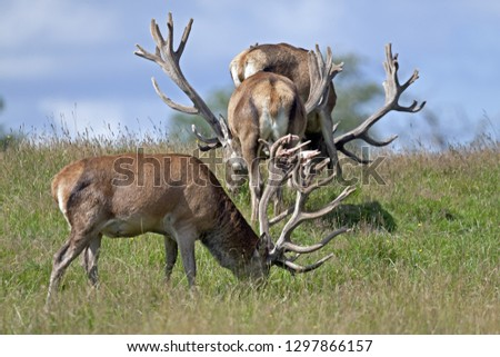 Red stags with velvet-covered antlers #1297866157