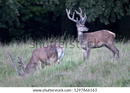 Red stags with velvet-covered antlers #1297866163