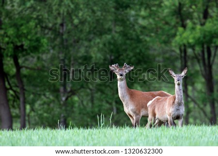 Red stags with velvet-covered antlers and hind #1320632300