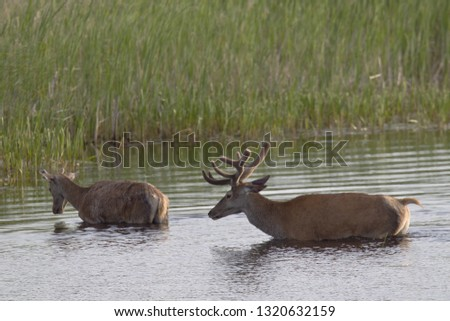 Red stags with velvet-covered antlers in a pond #1320632159