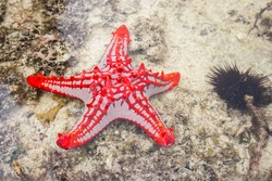 Red star fish under water surface. Marine life. Starfish on sand. Underwater life. Nature in Tanzania, Zanzibar. Coral and reef animals. Tropical nature close up. Summer holidays.