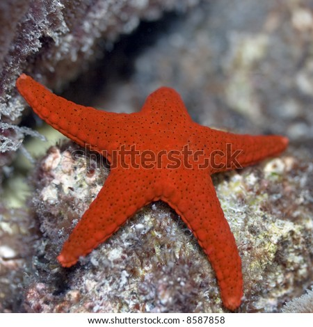 Red starfish (Fromia elegans). Maldives. Indian ocean. Addu atoll.
