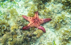 Red starfish in seaweed of tropical sea. Underwater landscape with pink starfish. Pillow starfish in seawater. Star fish with five tentacles. White sand shore and pink starfish. Bright red star fish