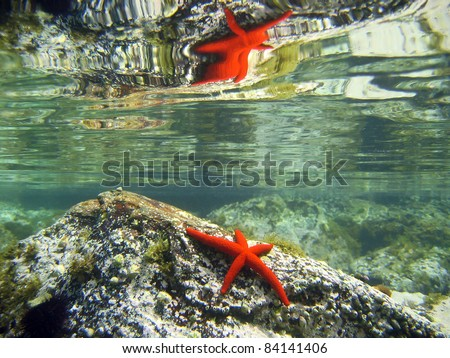 Red starfish on rock with reflection under water surface, natural scene, Mediterranean sea, Pyrenees Orientales, Roussillon, France