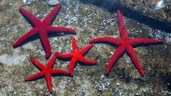 red starfish on the beach of Tinos Greece  family of starfish