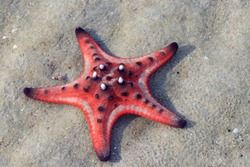 Red starfish on white sand on sunny tropical beach. View on starfish in the sea by Phu Quoc island in Vietnam. Summer Beach Starfish And Tropical Sea Background. Travel concept on tropical beach.