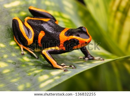 Red striped poison dart frog. A poisonous but beautiful small animal from the Amazon rain forest of Peru. Cute amphibian often kept as a tropical and exotic pet in a terrarium. Ranitomeya imitator