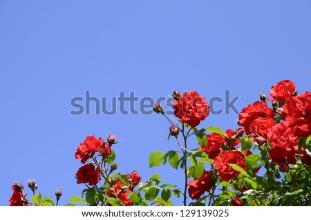 Red summer roses in a garden and blue sky background