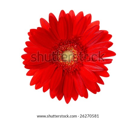 "red sunflower isolated on ""pure white"" background with ""path"""