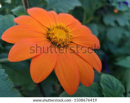 Red sunflower with green nature in background, the common sunflower. Helianthus grown as a crop for its edible oil and edible fruits. Sunflowers symbolize adoration, loyalty and longevity.