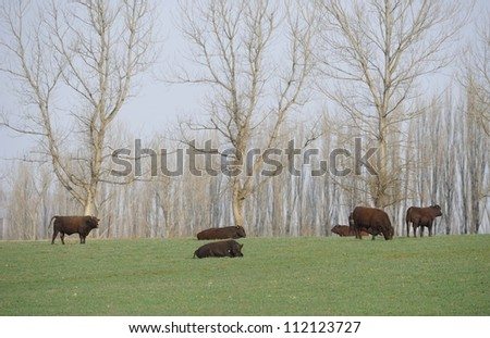 Red Sussex cattle on a South African beef ranch, kwazulu Natal,