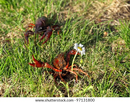 red swamp craw fish with a flower