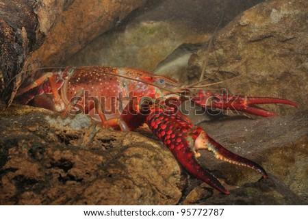red swamp crawfish in its underwater habitat (Procambarus clarkii)