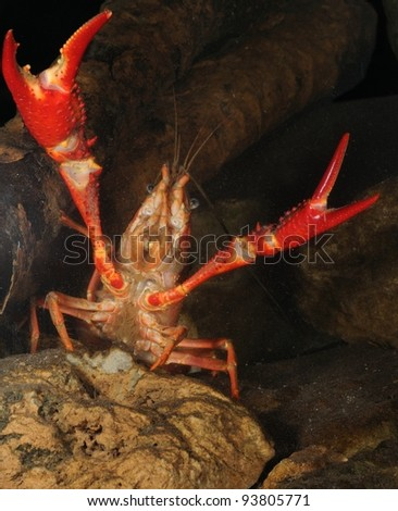 red swamp crawfish (Procambarus clarkii) in defense position underwater