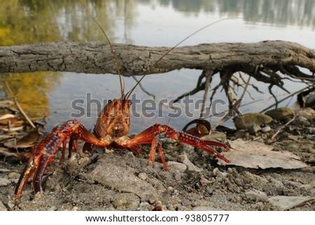 red swamp crawfish (Procambarus clarkii) in its  habitat
