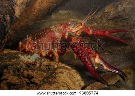 red swamp crawfish (Procambarus clarkii) underwater