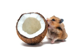Red Syrian hamster nibbles open coconut on a white background, isolate