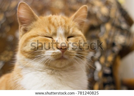 Red tabby cat dozing
