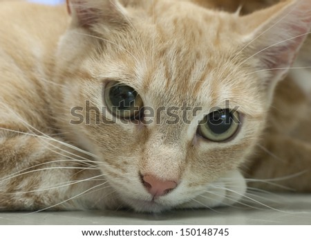 Red tabby cat looking at camera