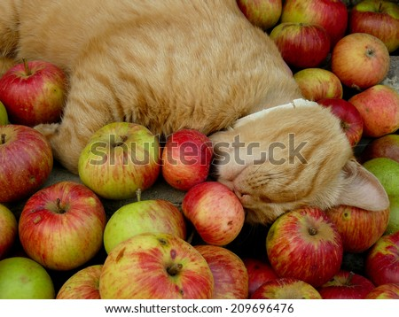 red tabby cat resting among fresh apples