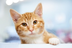 Red tabby kitten or young cat sitting on a shelf with a paw forward  on blue background
