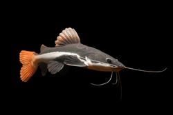 Red Tail Catfish isolated on black background