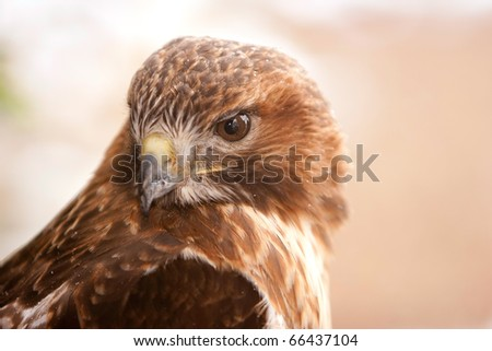 Red Tail Hawk with Snow Flakes On Feathers in Ohio