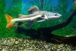 Red-tailed catfish in the aquarium. Redtail catfish  (Phractocephalus hemioliopterus)