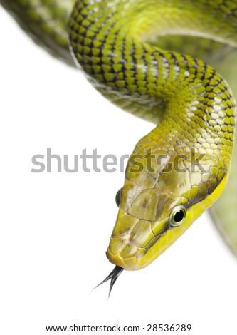 Red-tailed Green Ratsnake - Gonyosoma oxycephalum  in front of a white background