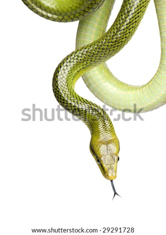 Red-tailed Green Ratsnake - Gonyosoma oxycephalum  in front of a white background