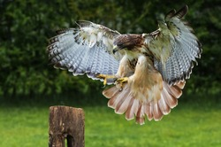Red-tailed hawk about to land on a post.