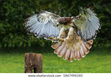 Red-tailed hawk about to land on a post. Сток-фото ©