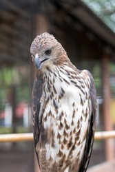 Red-tailed hawk are medium-sized hawks is a bird of prey that breeds throughout most of North America.