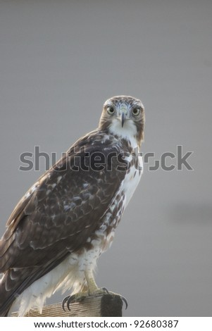 Red-Tailed Hawk - Bird of Prey