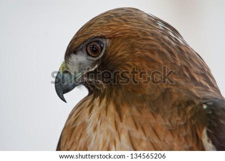Red-tailed Hawk (Buteo jamaicensis) at Ojai Raptor Rehabilitation Center in California