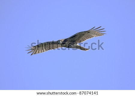 Red-tailed Hawk (buteo jamaicensis) flying against a blue sky