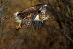 Red-tailed hawk Buteo jamaicensis in flight in Canada