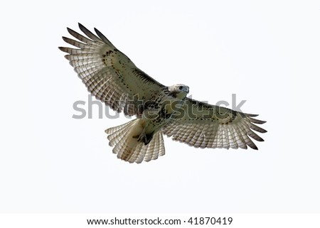 Red-tailed Hawk (buteo jamaicensis) isolated on white
