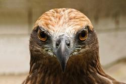 Red tailed hawk ( Buteo jamaicensis ) portrait