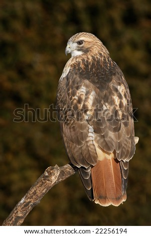 Red-tailed Hawk (Buteo jamaicensis) posing on branch - stock photo