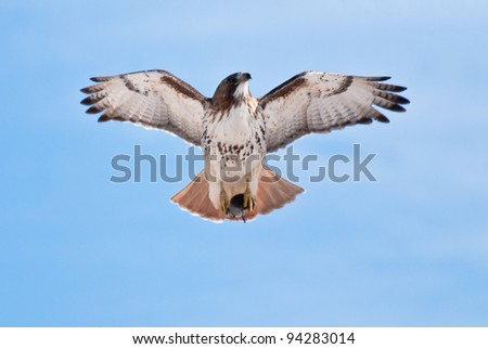 Red-Tailed Hawk Carrying Prey