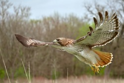 Red tailed hawk flying close up