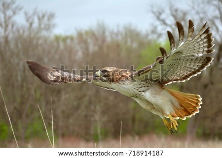 Red tailed hawk flying close up - Shutterstock ID 718914187