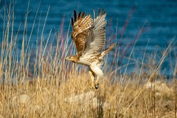 Red tailed hawk flying with rodent in it's talons.