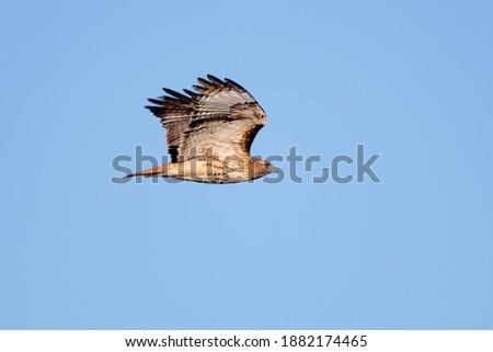 Red-tailed hawk gliding, Bosque del Apache, New Mexico, USA Foto stock ©