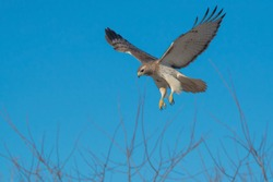 Red-tailed Hawk hovering in mid air, looking down at potential prey. Colloquially known as a Chicken Hawk in some places. Tommy Thompson Park, Toronto, Ontario, Canada.