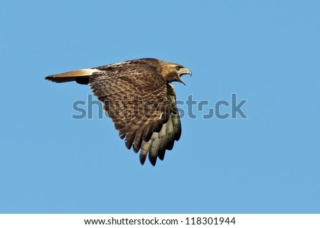 Red-tailed Hawk in Flight against a blue sky background.